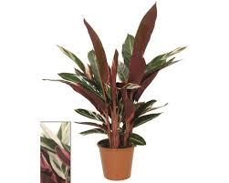 korbmarante floraself calathea triostar h 80 90 cm ø 19 cm topf