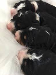 Do F1 Sheepadoodles Shed by Iowa Bernedoodle Breeder Bernedoodle Puppies For Sale Iowa