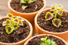 Pot Plants For The Bathroom by How To Grow Coleus Plants Indoors
