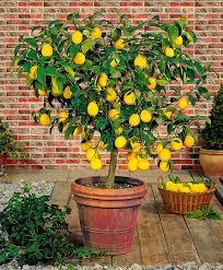 meyer lemon trees for sale fast growing trees