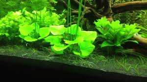 Aquascape After 17 Days Banana Lily Growing Out Of Control - YouTube Pin By Ally Bragg On Design Technology Pinterest Planted Everything About Aquascaping The Incredible Undwater Art Basic Forms Aqua Rebell 60 Carpet Carpeting Live Aquarium Plants Aquariums And Ideas From The Of Limnophila Sessiliflora Orange Aquatic Lab Tutorial River Bottom Natural Aquarium Plants Gardens Online Plant Specialist Supplier How To Deal With Algae Love Planting Wiki Styles Aquascapers Suitable