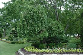 Weeping Mulberry Morus Alba Pendula At Connon Nurseries CBV