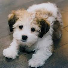 Cute Non Hypoallergenic Dogs by 8 Top 10 Cutest Non Shedding Dogs Norwegian Forest Cat