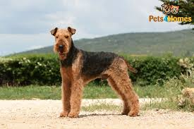 Do Airedale Puppies Shed by Airedale Terrier Dog Breed Information Buying Advice Photos And