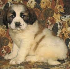 Do Smooth Coat St Bernards Shed by Nehi Saint Bernard Dog Breed Information And Pictures