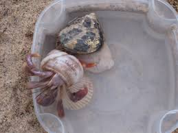Do Hermit Crabs Shed Their Whole Body by Power Hungry Hermit Crabs