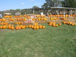 Pumpkin Farm Illinois Best by Best Pumpkin Picking Ackerman Farms Morton Il The Farming