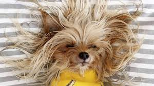 Dogs That Shed Less Hair by Do Yorkies Shed The Answer Might Surprise You Rover Com