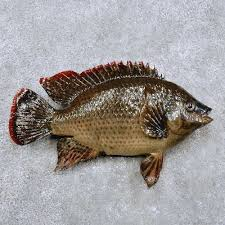Tilapia Fish Mount For Sale 14364 The Taxidermy Store