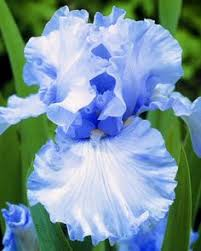 bearded iris heavenly rhizome grows to 38 bright