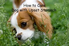 Using Pumpkin For Diarrhea In Dogs by Essential Care For Dog With Upset Stomach Or Diarrhea Hubpages