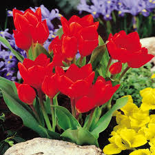 buy one of our many tulip bulb varieties top quality flower bulbs