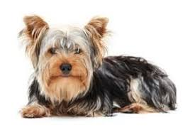 Protective Dog Breeds That Dont Shed by Dog Breeds That Don U0027t Shed