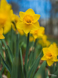 an illustrated daffodil family album