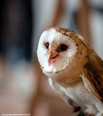 Barn Owl By Giorgio Debernardi | ~Birds-Our Feathered Friends ... This Galapagos Barn Owl Lives With Its Mate On A Shelf In The Baby Barn Owl Owls Pinterest Bird And Animal Magic Tito Alba Sitting On Stone Fence In Forest Barnowl Real Owls Echte Uilen Wikipedia Secret Kingdom Young Tyto Roost Stock Photo 206862550 Shutterstock 415 Best Birds Mostly Uk Images Feather Nature By Annette Mckinnnon 63 2 30 Bird Great Grey