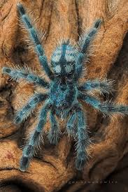Do Tarantulas Molt Upside Down by Avicularia Metallica Pinktoe A Relatively Docile Species Of