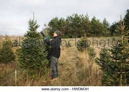 Christmas Tree Types Canada by Christmas Tree Farm In Canada With Frost On Trees Stock Photo