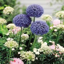 allium caeruleum azureum blue drumstick 20 flower bulbs buy