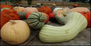 Eastern Iowa Pumpkin Patches by Fall Family Fun In Decorah Iowa Travel With Sara