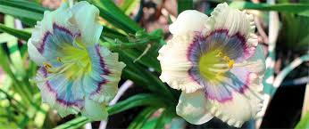 daylilies in australia australian daylily suppliers buy