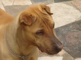 Do Shar Peis Shed A Lot by Pedigree Dogs Exposed The Blog The Original Shar Pei A New