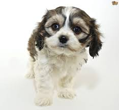 Big Dogs That Dont Shed Bad by All About The Cavachon Dog Pets4homes
