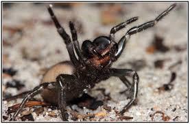 Pumpkin Patch Tarantula Scientific Name by Sydney Funnel Web Spider 160 Km Radius Of Sydney Australia