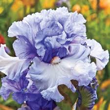 2547 best irises images on flowers beautiful and garden