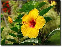 15 best Hawaiian Flowers images on Pinterest