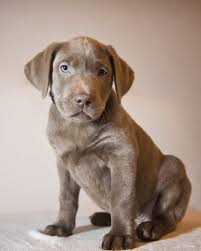 Do Long Haired Weimaraners Shed by Silver Labs The Facts About Silver Labrador Retrievers