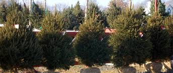 Potted Christmas Trees For Sale by Mclaughlin Tree Farm