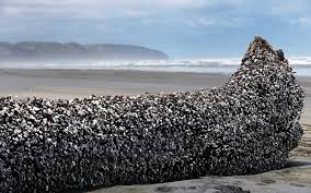Driftwood Christmas Trees Nz by This Massive Piece Of Driftwood Is Valuable For A Very Strange