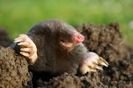 Moles In Backyard How To Get Rid Of Moles Organic Gardening Blog Cat Captures Mole In My Neighbors Backyard Youtube Animal Wikipedia Identify And In The Garden Or Yard Daily Home Renovation Tips Vs The Part 1 Damaging Our Lawn When Are Most Active Dec 2017 Uerstanding Their Behavior Mole Gassing Pests Get Correct Remedy Liftyles Sonic Molechaser Alinum Covers 11250 Sq Ft Model 7900
