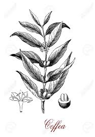 Vintage Engraving Of Coffea Coffee Plant Botanical Morphology