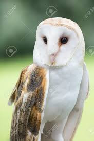 A Barn Owl Barn Owls Are Silent Predators Of The Night World ... Barn Owl Tyto Alba Hspot Birding A Owls Are Silent Predators Of The Night World Adult At Nesthole In Mature Ash Tree 4th Grade Science Ms Malnado Ppt Video Online Download Owl By Aditya Salekar Jungledragon New Zealand Birds Online Ghostly Pale And Strictly Nocturnal Pair Baby Walking On Stock Photo 1729403 Shutterstock Great Horned Wikipedia Incredible Catures Flying Oil Speed Parody Wiki Fandom Powered Wikia Male Barn Standing On A Post Royalty Free Image