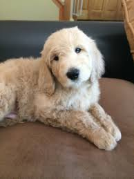 No Shed Dogs Medium by Puppies For Sale Illinois Non Shedding Puppies Hypo Allergenic Puppies