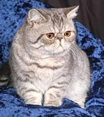 shorthair cat price shorthair cat breeders australia kittens for