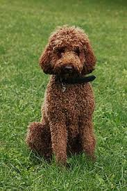 Non Shedding Dog Breeds Small by Hypoallergenic Dog Breed Wikipedia
