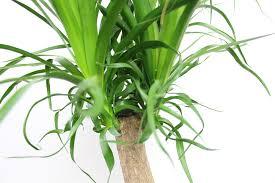 riesen palmlilie yucca elephantipes pflege hausgarten net