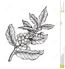 Download Coffee Tree With Beans Coffea Vector Illustration Stock