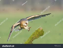Barn Owl Landing On Mossy Perch Stock Photo 380284006 - Shutterstock Barn Owl Landing Spread Wings On Stock Photo 240014470 Shutterstock Barn Owl Landing On A Post Royalty Free Image Wikipedia A New Kind Of Pest Control The Green Guide Fence Photo Wp11543 Wp11541 Flight Sequence Getty Images Imageoftheday By Subject Photographs Owls Kaln European Eagle Coming Into Land Pinterest Pictures And Bird