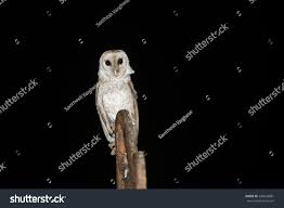 Barn Owl Isolated On Black Night Stock Photo 296043881 - Shutterstock Black Barn Owl Oc Eclipse By Pkhound On Deviantart Closeup Of A Stock Photo 513118776 Istock Birds Of The World Owls This Galapagos Barn Owl Lives With Its Mate A Shelf In The Started Black Paper Today Ref Paul Isolated On Night Stock Photo 296043887 Shutterstock Stu232 Flickr Bird 6961704 Moonlit Buttercups Moth Necklace Background Image 57132270 Sd Falconry Mod Eye Moody