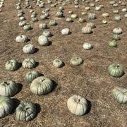 Half Moon Bay Pumpkin Patches 2015 by 4 C U0027s Pumpkin Patch 37 Photos U0026 15 Reviews Farmers Market
