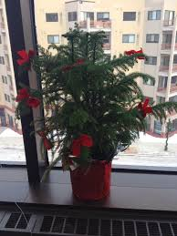 Christmas Tree Sapling Care by Norfolk Island Pine Care Houseplant Care Tips