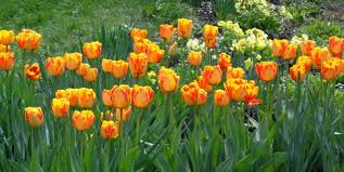 flowering bulbs piedmont master gardeners