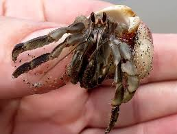 Halloween Hermit Crab by Bringing Home Hermit Crabs Don U0027t Do What I Did Petful