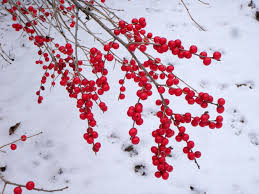 Winterberry Christmas Tree Farm by Winterberry Knecht U0027s Nurseries U0026 Landscaping