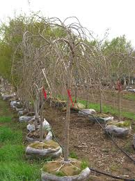MULBERRY WEEPING Trees For Sale In Colorado Buy The Best Plants Your Landscape