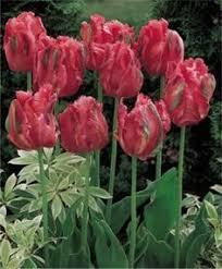 tulip el nino garden flowers tulip search and nino