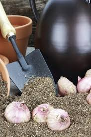 gladiolus winter care how to care for gladiola bulbs during the